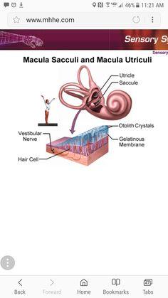 Ear Anatomy, Vestibular System, Biology Classroom, Med School, Vertebrates, Anatomy And Physiology, Elevator, Ears, Science