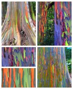 Nature at it's best. These are Rainbow Eucalyptus trees Maui.