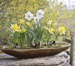 Weiße und gelbe Narzissen in schönem Arrangement!