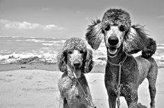 Poodles+Beach=Happiness