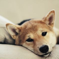 Sweet shiba face. Yep, I have one of those in my life! :-)