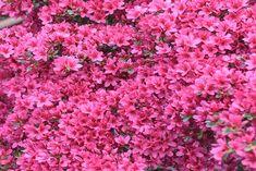 Découvrez comment faire refleurir votre azalée en suivant les conseils de Détente Jardin et devenez incollable sur ce type de rhododendron ! Pots, Rhododendron, Trees And Shrubs, Bonsai, Nature, Flowers, Avril, Style, Gardens