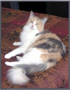 dilute calico - Would love to have another dilute calico but with longer hair