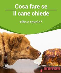 Cosa fare se il cane chiede cibo a tavola? È molto strano non vedere un #cane chiedere #cibo a tavola mentre stiamo #mangiando. Sembra essere qualcosa di innato per loro. #Addestramento