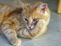 Cómo prevenir las pulgas en los gatos