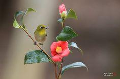 동백꽃과 동박새 - Google 검색