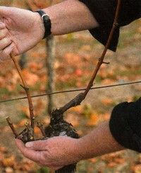 A guide to growing & pruning grapes- images & instructions
