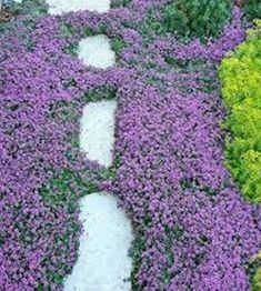 Creeping Thyme Ground Cover Seeds- Thymus Serpyllum Magic Carpet - Mixed with Vermiculite- Beautiful, ground cover and drought resistant Ground Cover Seeds, Ground Cover Plants, Purple Ground Cover, Low Growing Ground Cover, Garden Border Plants, Garden Borders, Landscaping On A Hill, Landscaping Plants, Landscaping Ideas