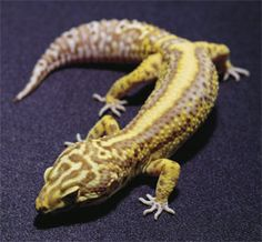 bell albino morph