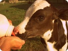 another pinner wrote: Woodstock Farm Animal Sanctuary is also fabulous! It is a lot smaller than Farm Sanctuary, but the people are just as awesome (if not more so :) ). Cute Baby Cow, Baby Cows, Cute Cows, Cute Babies, Alpacas, Farm Animals, Cute Animals, Cow Pictures, Cute Little Things