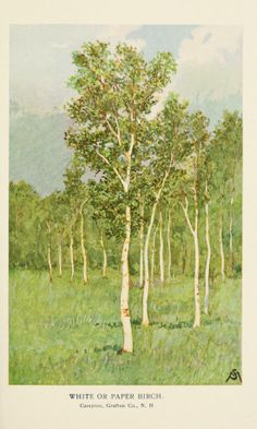 Paper Birch: Familiar trees and their leaves, F. Schuyler Mathews - 1908 - Biodiversity Heritage Library