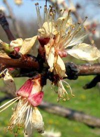 monilia laxa virágelhalás