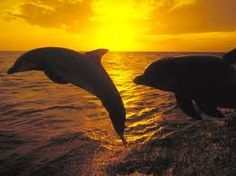 Dolphins at Sunsets
