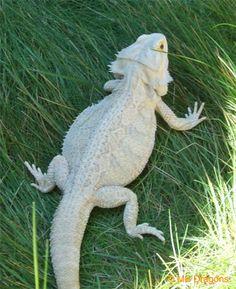 Leucistic Bearded Dragon