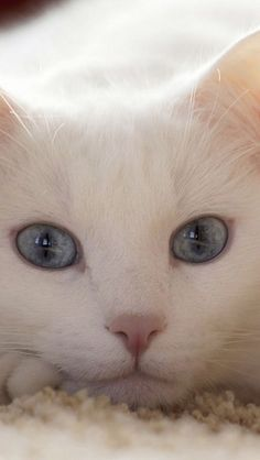 Albino cats are not simply white cats. Here's everything you need to know about albino kitties.
