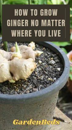 Growing Plants Indoors, Herbs Indoors, Growing Herbs, Growing Vegetables, Vegetable Garden Design, Vegetable Gardening, Gardening Tips, Growing Ginger, Hanging Herbs