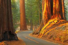 Giant Forest, Sequoia National Park by ThorsHammer94539