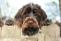 Wirehaired Pointing Griffon - Anybody up for some toss and fetch?