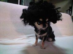 #Cane chi l'ha detto che i capelli vaporosi non vanno più di moda? #animalhumor