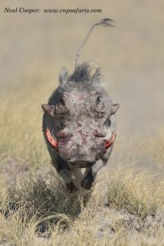 The weaker boar runs off straight towards us and crosses the road in front of us.  The fight lasted just more than 13 minutes. Time: 12:00:5...
