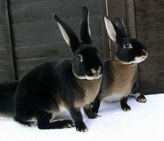 Black Otter Rex Rabbits This is how I picture the Efrafan rabbits