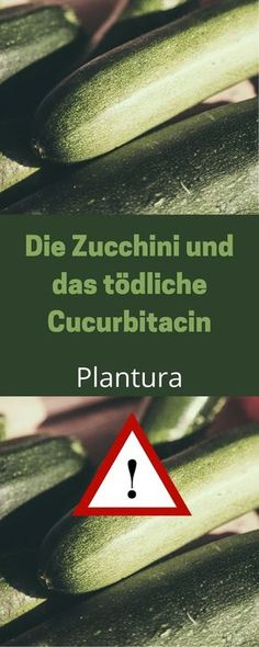 Schmeckt Eure Zucchini bitter, esst sie auf keinen Fall. Sie enthält das giftige Cucurbitacin!