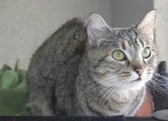 I'm Matilda, a super cute shorthaired tabby available for adoption at Simply Cats in Boise, ID.  Repin this and help me find a forever home!