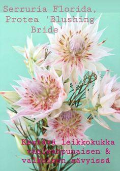 Flor Protea, Protea Flower, Bride Flowers, Wedding Flowers, Growing Flowers, Planting Flowers, Pink Flowers, Beautiful Flowers, Plant Species