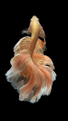 Some interesting betta fish facts. Betta fish are small fresh water fish that are part of the Osphronemidae family. Betta fish come in about 65 species too! Beautiful Creatures, Animals Beautiful, Cute Animals, Pink Animals, Colorful Fish, Tropical Fish, Poisson Combatant, Betta Fish Types, Fauna Marina
