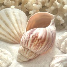 Coral Shell II Posters by Donna Geissler at AllPosters.com