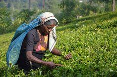 Tea in Sri Lanka was AMAZING! #WanderlustLama #SriLankaTravel #Tea #SriLankaTea #PickingTea #Adventure #Travel #SriLankaDestinations #SriLankaPointsofInterest #SriLankaHotels #SriLankaBeaches #SriLankaWeather #SriLankaHolidays #SriLankaAir