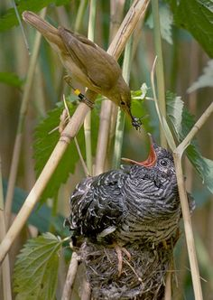 Reed warbler cuckoo - Coucou gris — Wikipédia
