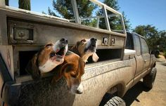 hunting hound dogs