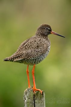 Perna Vermelha, Redshank (Tringa Totanus) natural Park of the Tagus river. Lisbon, #Portugal