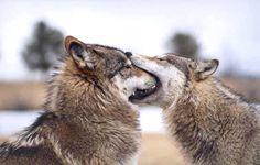 Resultado de imagem para casal de lobo mordendo