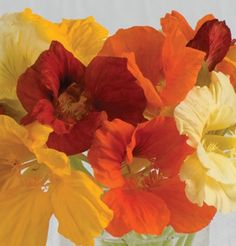 """Jewel Mix Nasturtium Seed. Well-known mix of singles and doubles.  These bright, 2"""" blooms of red, pink, orange, and yellow are held above light green foliage. Delicious edible flowers. Ht. 16""""."""