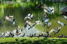 Taking Flight (JGBHardy) Tags: pigeons flight