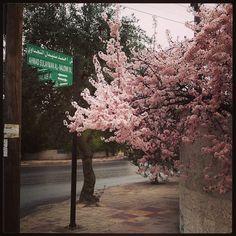 #Spring is fighting to bloom... #pink #flowers #Amman #Jordan