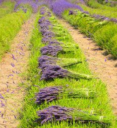 Lavender harvest (Graymarsh Farms, Washington) by Chelsey