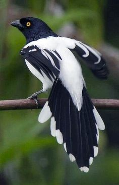 "Magpie. ""You talking to ME?!"""