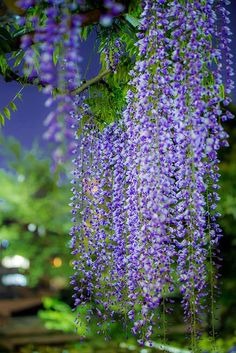 Wisteria Garden, Wisteria Tree, Beautiful Landscapes, Beautiful Gardens, Purple Flowers, Beautiful Flowers, Dame Nature, Vides, Exotic Plants