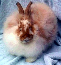 Angora Rabbit: I'd love to have one like this!