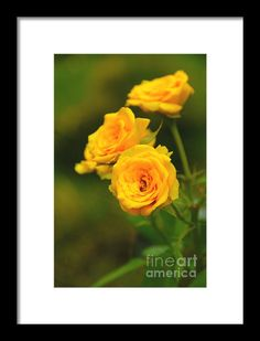 Yellow Roses Framed Print By Charuhas Images