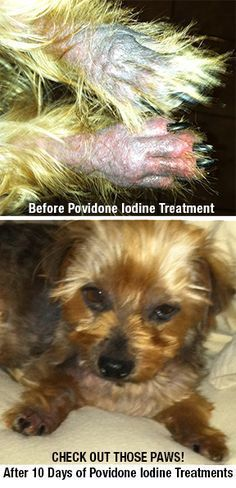 How To Dodge The Secondary Skin Infection Bullet - Happy Dog Naturals Yorkshire Terrier Haircut, Yorkshire Terriers, Coconut Oil For Dogs, Dog Information, Poor Dog, Dog Hacks, Baby Hacks, Smiling Dogs, Dog Eating