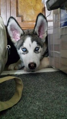 Siberian Husky puppy with adorably large ears.
