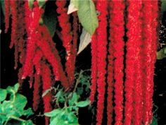 am103  60 days. Tall, 3'- 4' plants are covered with very long rope-like flowers that are a deep, brilliant red color. One of the most striking plants for any garden and so easy to grow. Amaranth is one of our favorite crops! A good seed producer, too. This is a very old heirloom, a pre-1700 variety, that was very popular. Leaves are tasty as cooked greens.