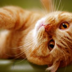 """""""God made the cat so that man could have the pleasure of caressing the tiger."""" --Victor Hugo"""
