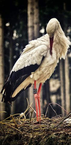 C~~Storks are large, long-legged, long-necked wading birds with long, stout bills. Kinds Of Birds, All Birds, Love Birds, Pretty Birds, Beautiful Birds, Animals Beautiful, Stork Bird, Exotic Birds, Fauna