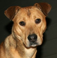 7/6/16 - Brownie - Carolina Dog mix - Young - Male - For Pete's Sake Animal Rescue - Kingsport, TN. - http://forpetessakerescue.com/ - https://www.facebook.com/.ForPetesSakeAnimalRescue - https://www.petfinder.com/petdetail/22033761/