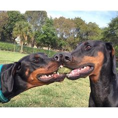 #doberman. I had it first! No, I had it first! Mooommmmm!!!